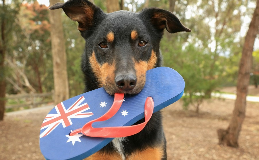 10 steps to taking your pet to Australia