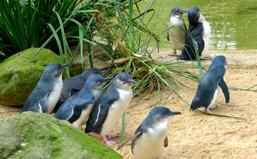 Don't miss the penguins on Phillips Island!