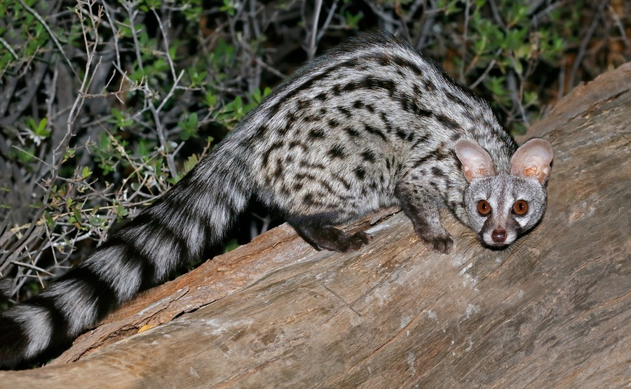 The genet can be found mainly in southwestern France, along the Pyrénées.