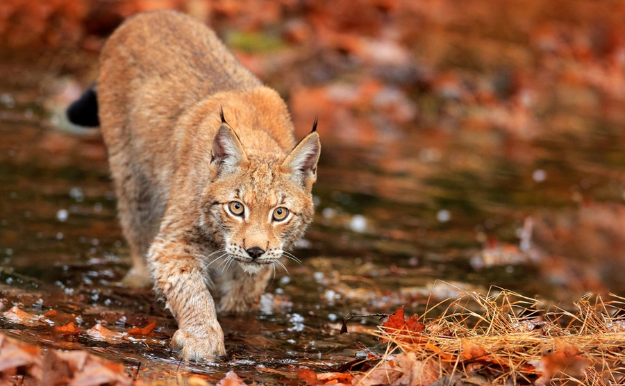 There are around 500 lynxes, mainly in eastern France.