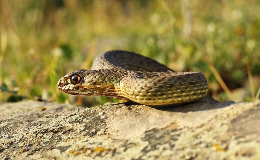 You'll be pleased to know that the Montpellier snake is considered no danger to humans usually!