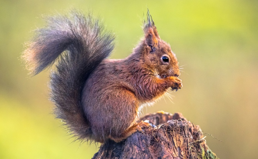 Red squirrels may be comparatively rare in the UK, but they're thriving in France.