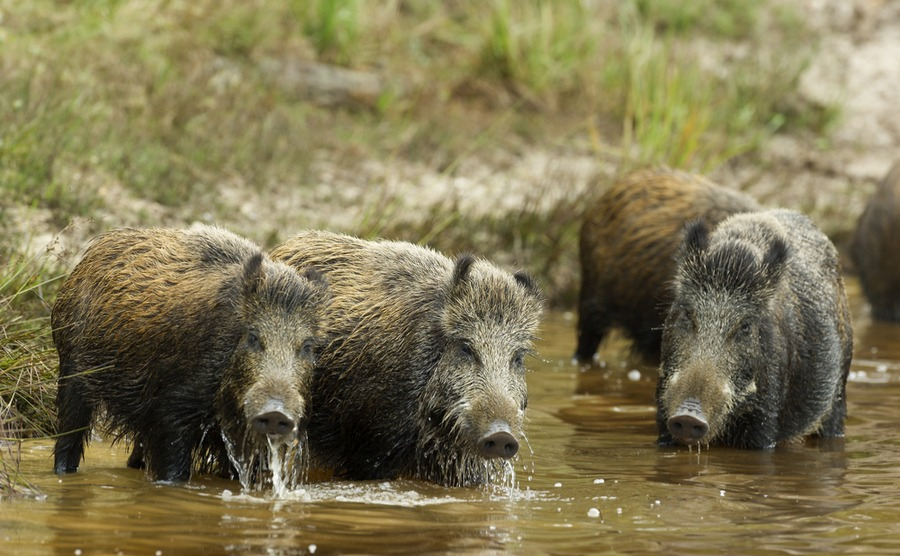 You'll still find a good few wild boars in France, like these three in the Charente-Maritime.