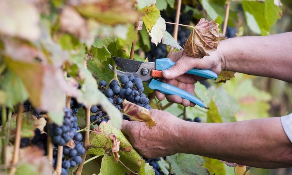 harvesting-grapes-italy-vineyard-2