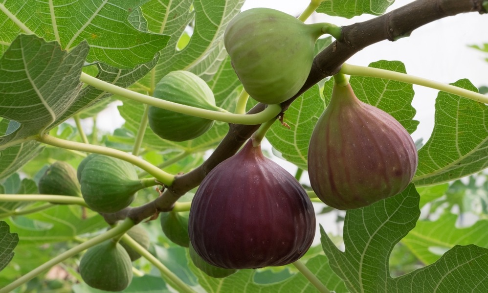 rural-living-italy-figs-on-tree