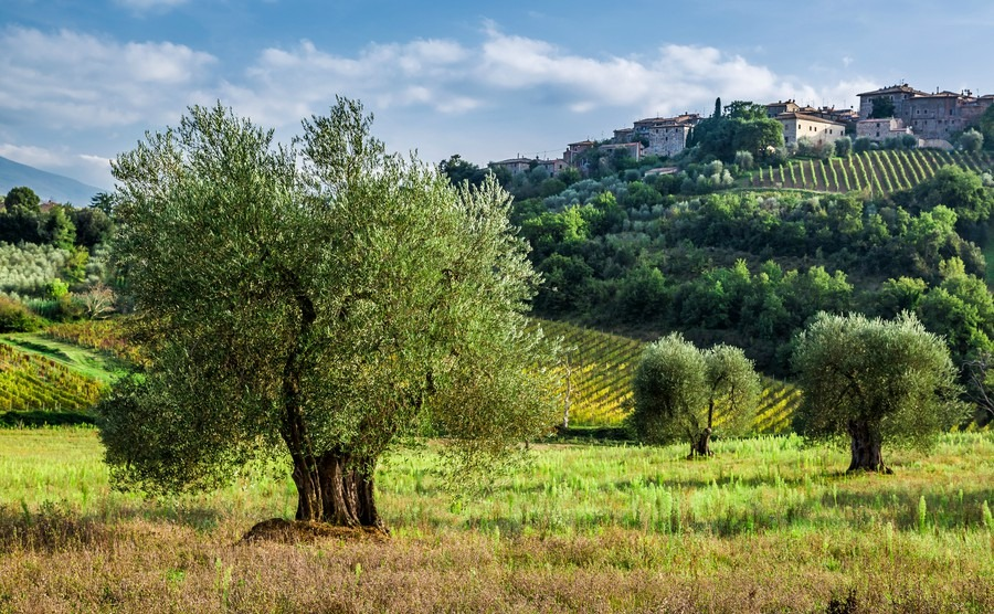 vineyards-and-olive-groves-in-tuscany