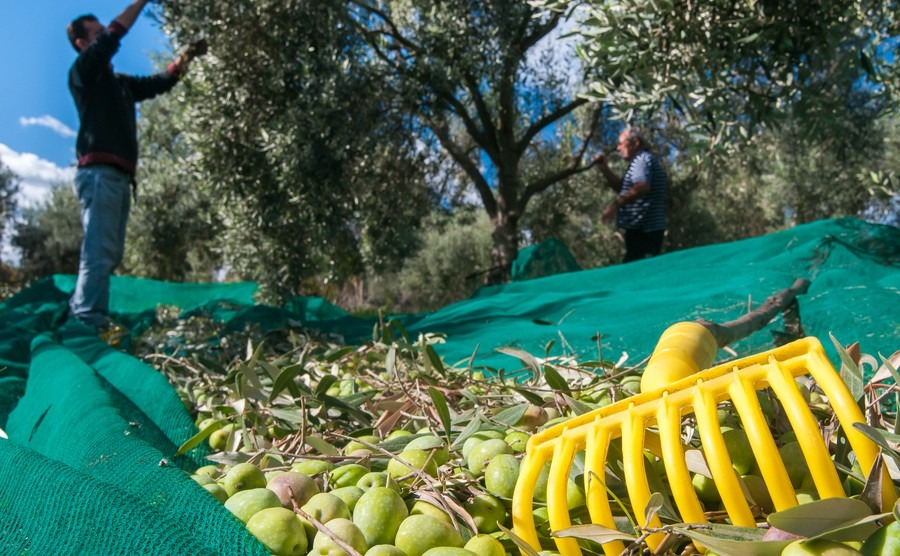 yellow-olive-rake-and-just-picked-olives-on-the-net-and-pickers-at-work