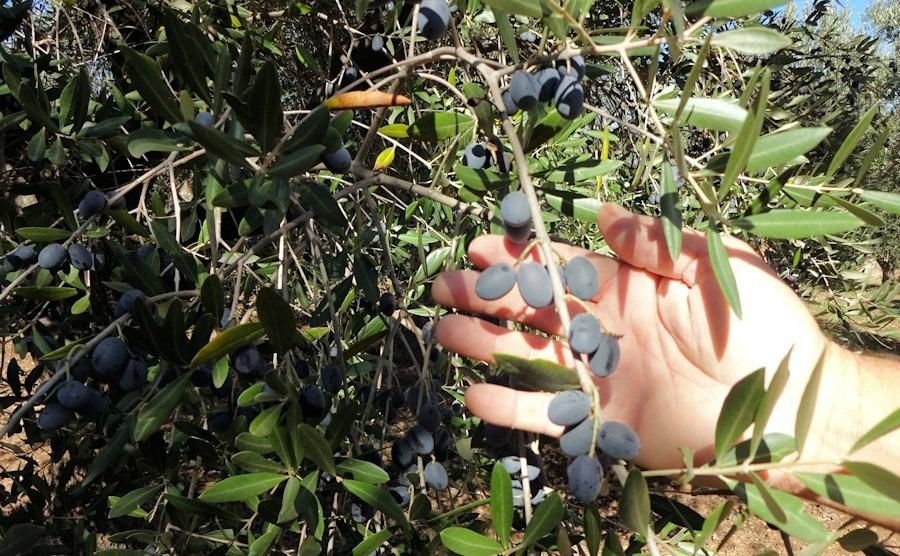 Confessions of a virgin olive picker