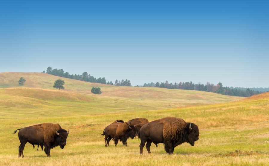 See the buffalo in South Dakota