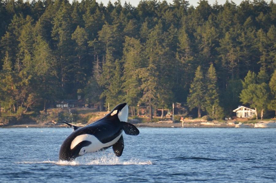 A killer whale breaches near Henry Island off Washington State