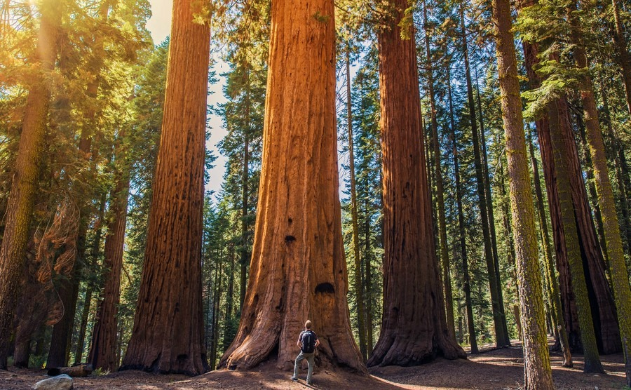 sequoia-vs-man-giant-sequoias-forest-and-the-tourist-with-backpack-looking-up