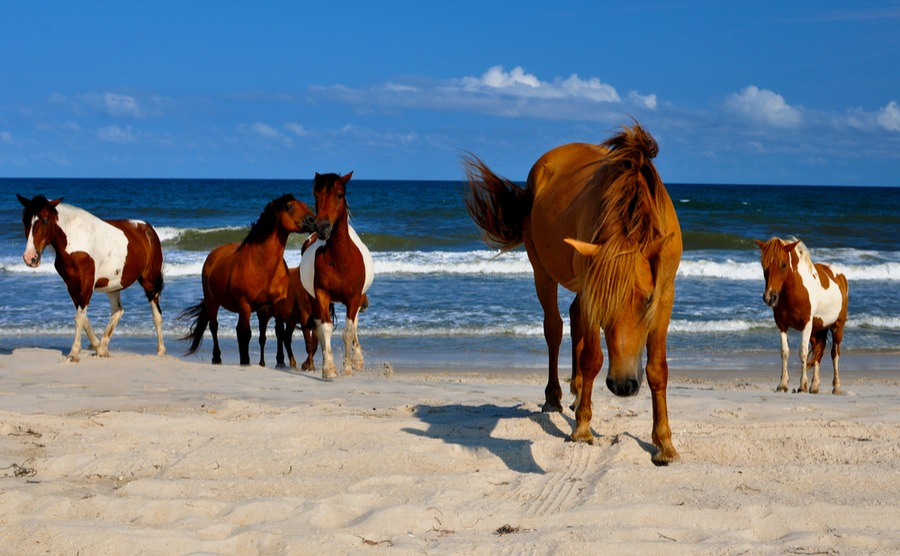 Meet wild horses in Maryland